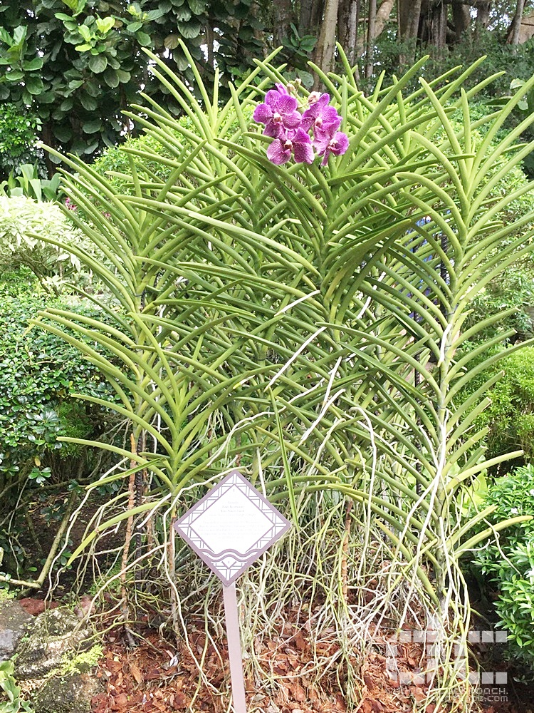 botanic garden, places of interest, singapore, singapore botanic garden, unesco,  where to go in singapore, national orchid garden,vip orchid garden,orchid