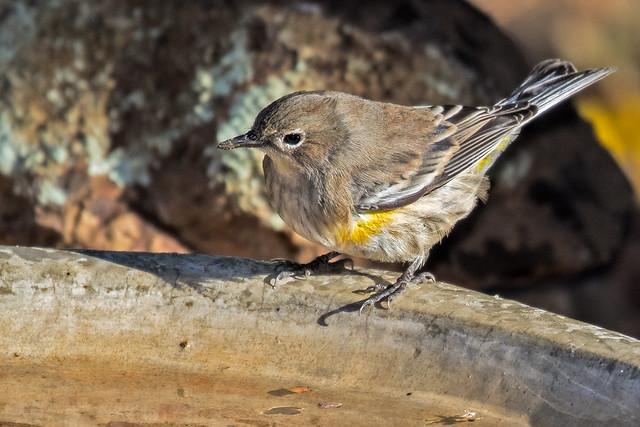 Yellow-rumped-Warbler-12a-7D2-092516