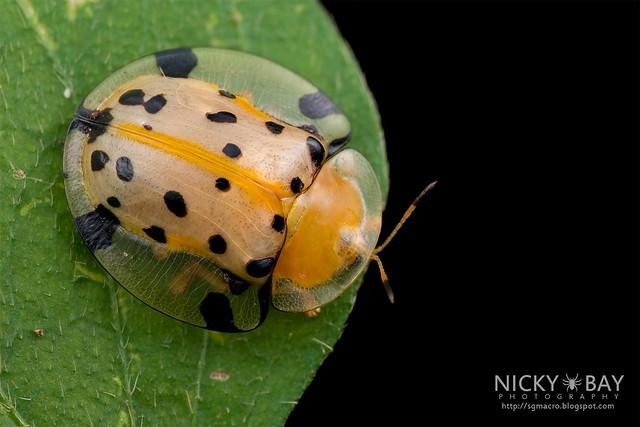 Tortoise Beetle (Aspidimorpha miliaris) - DSC_1875