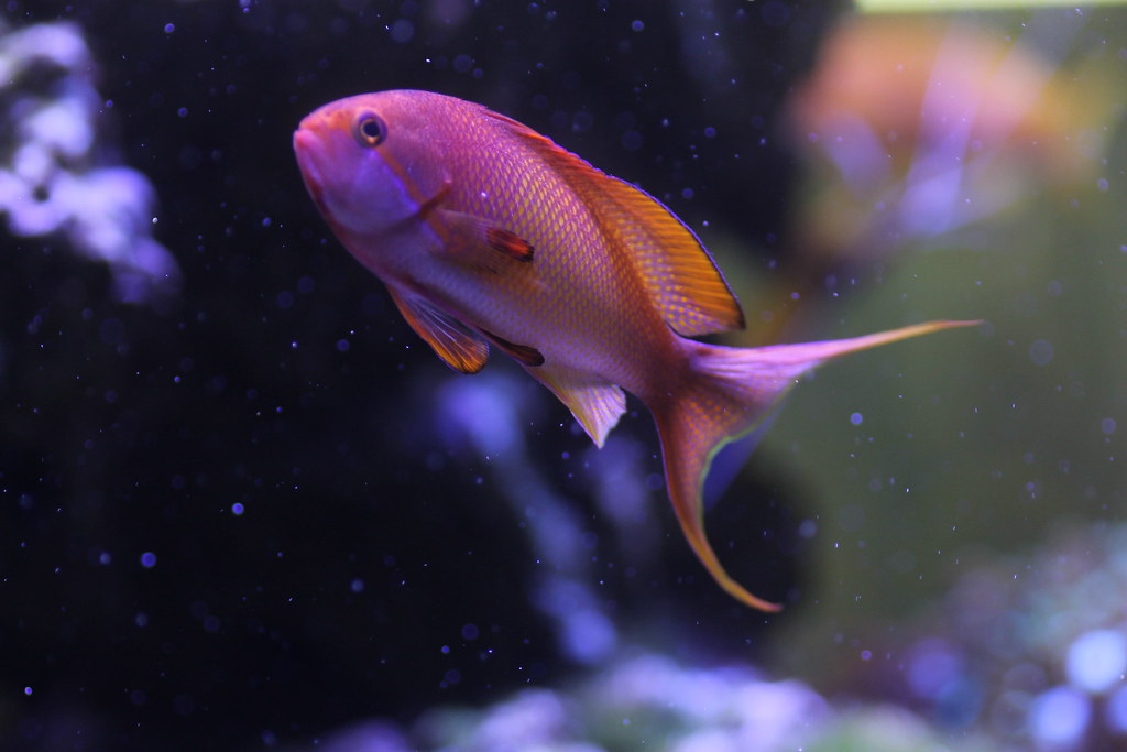 Lyretail Anthias Male