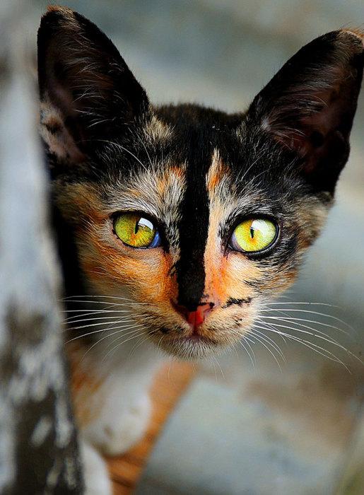 Черная кошка с рыжей мордочкой и черным носом - ПоЗиТиФфЧиК - сайт позитивного настроения!