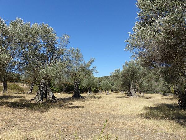 les oliviers de halki