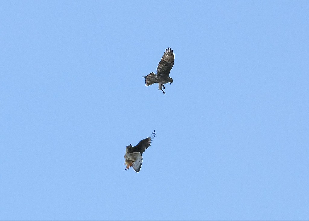 Hawk fight