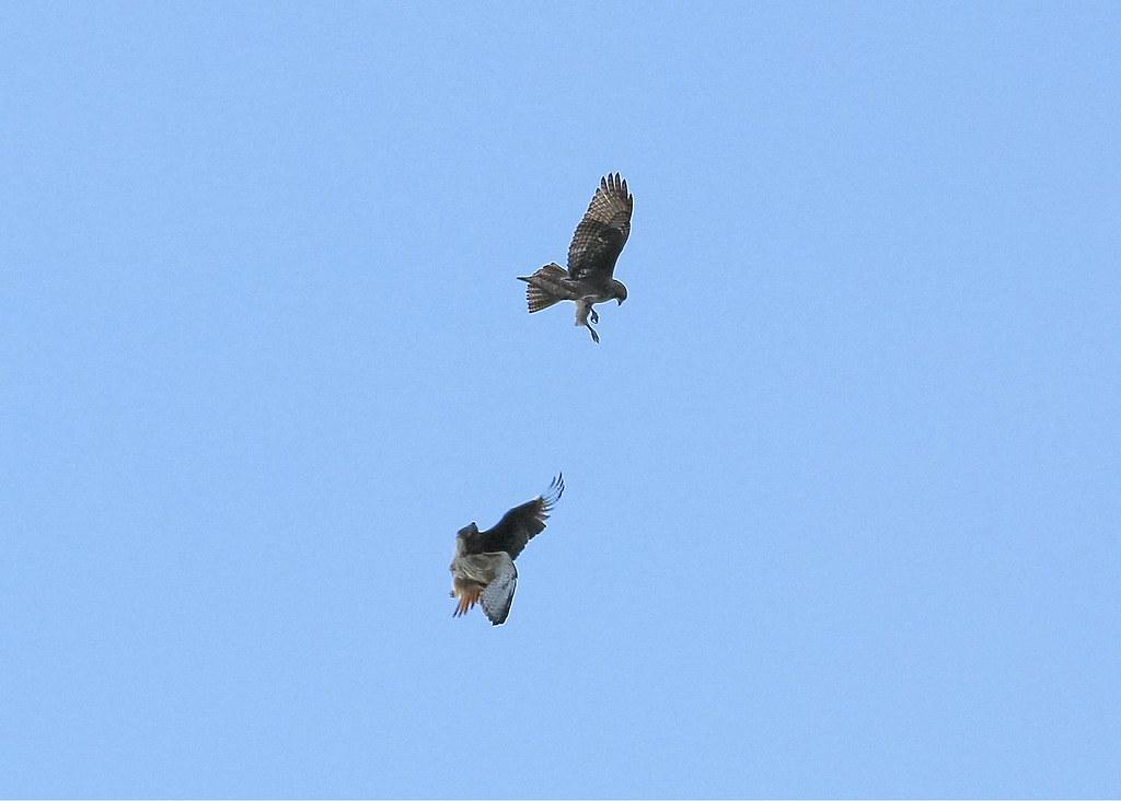 Hawk fight