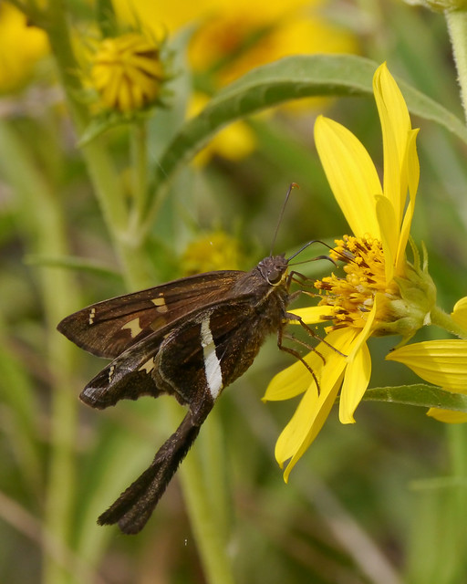 White-striped Longtail on Maximilian Sunflower - 3