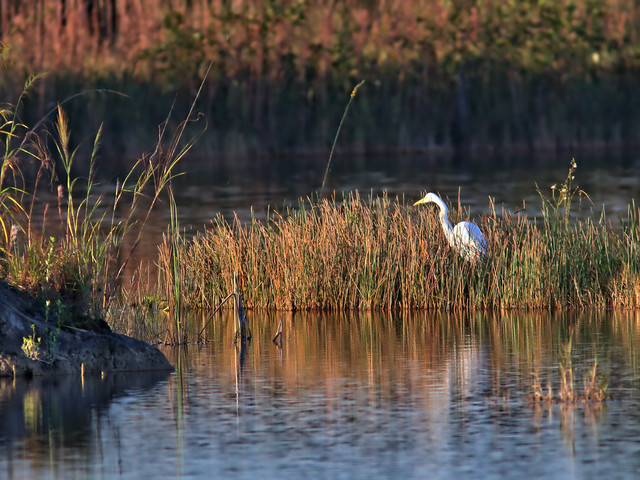 Great Egret HDR 02-20161108