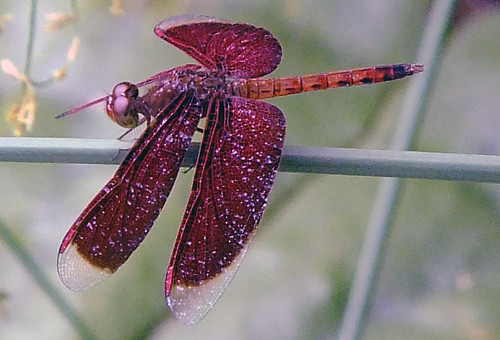 Burgundy dragonfly at the Singapore Zoo