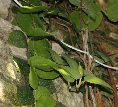 Scindapsus pictus inflorescence