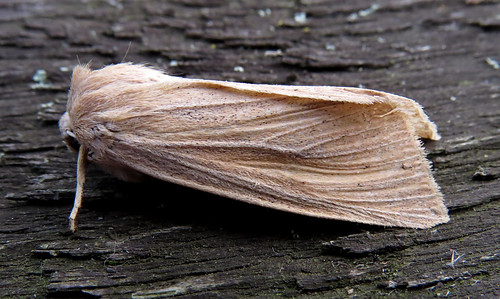 Large Wainscot Rhizedra lutosa Tophill Low NR, East Yorkshire November 2016