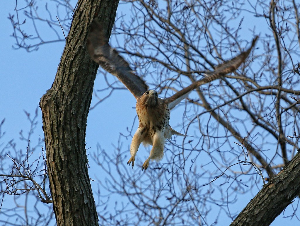 Christo takes off to chase a Cooper's hawk