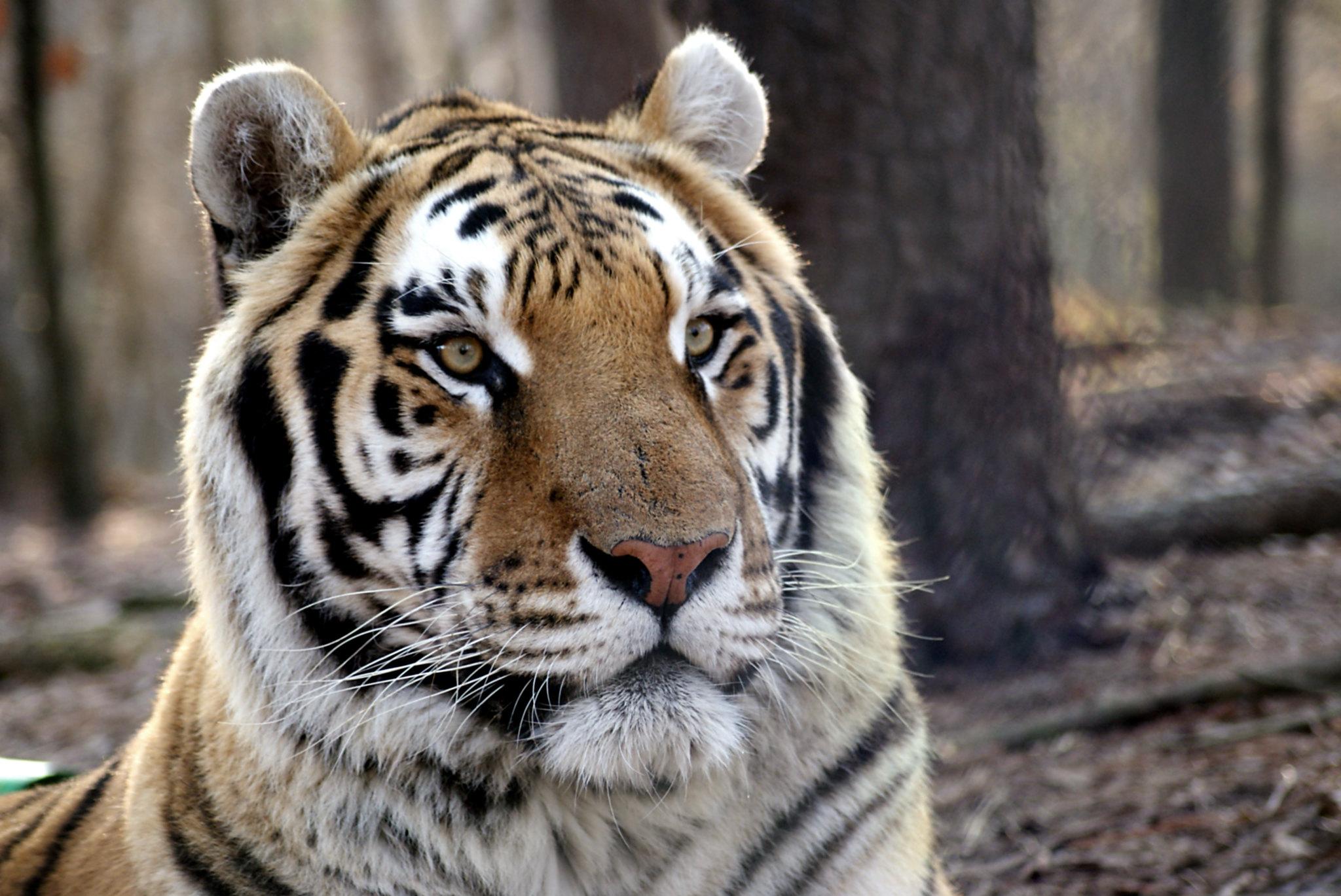 Rajah Tiger | Carolina Tiger Rescue