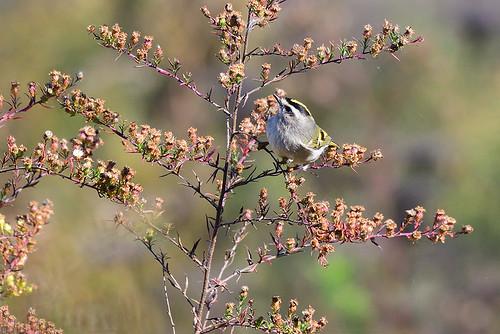 Oakland Lake, NY: Golden-crowned Warbler