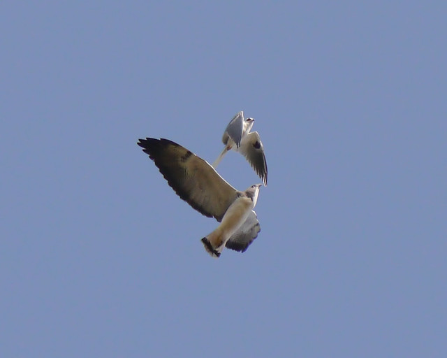 White-tailed Kite and White Tailed Hawk in flight - 3