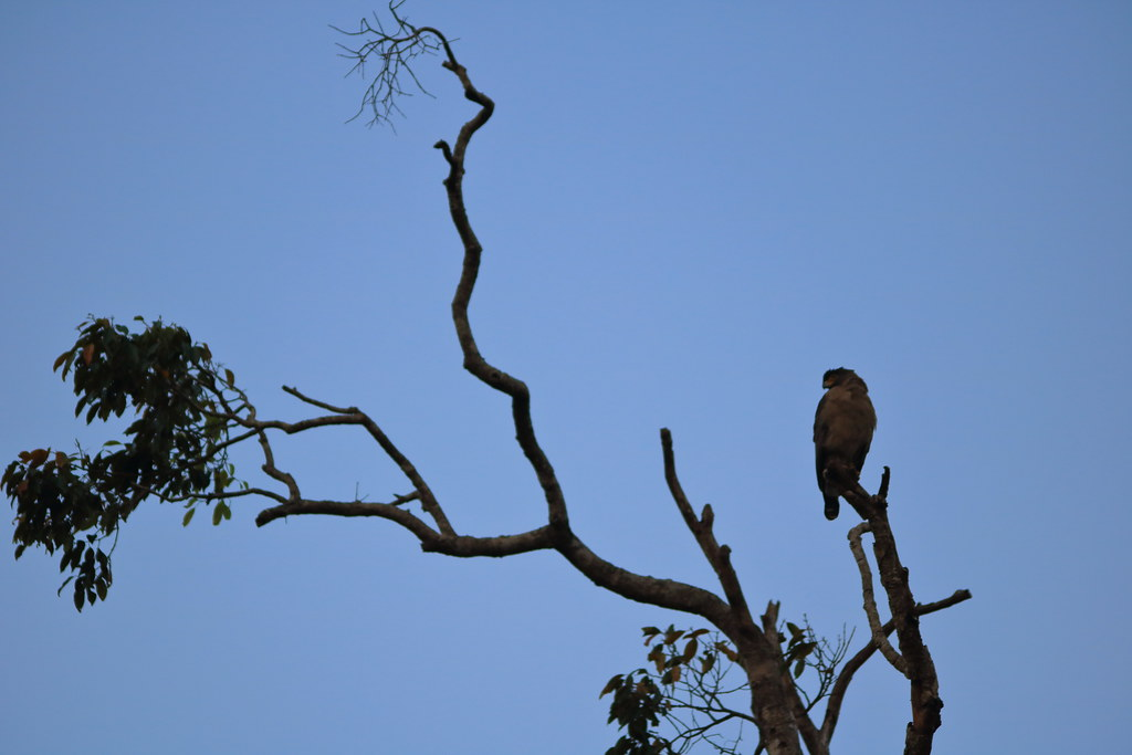 Crested Serpent Eagle makes a mandatory appearance