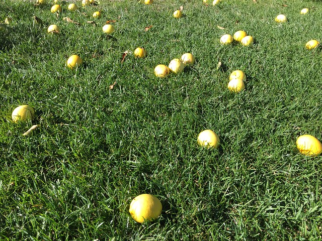 lemons on the lawn