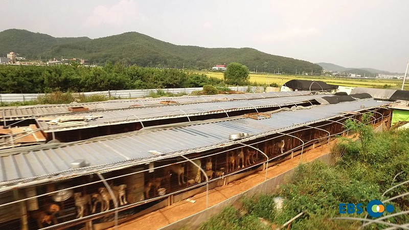 Korean EBS Documentary: The horrible reality of dog meat farms that you don't know.