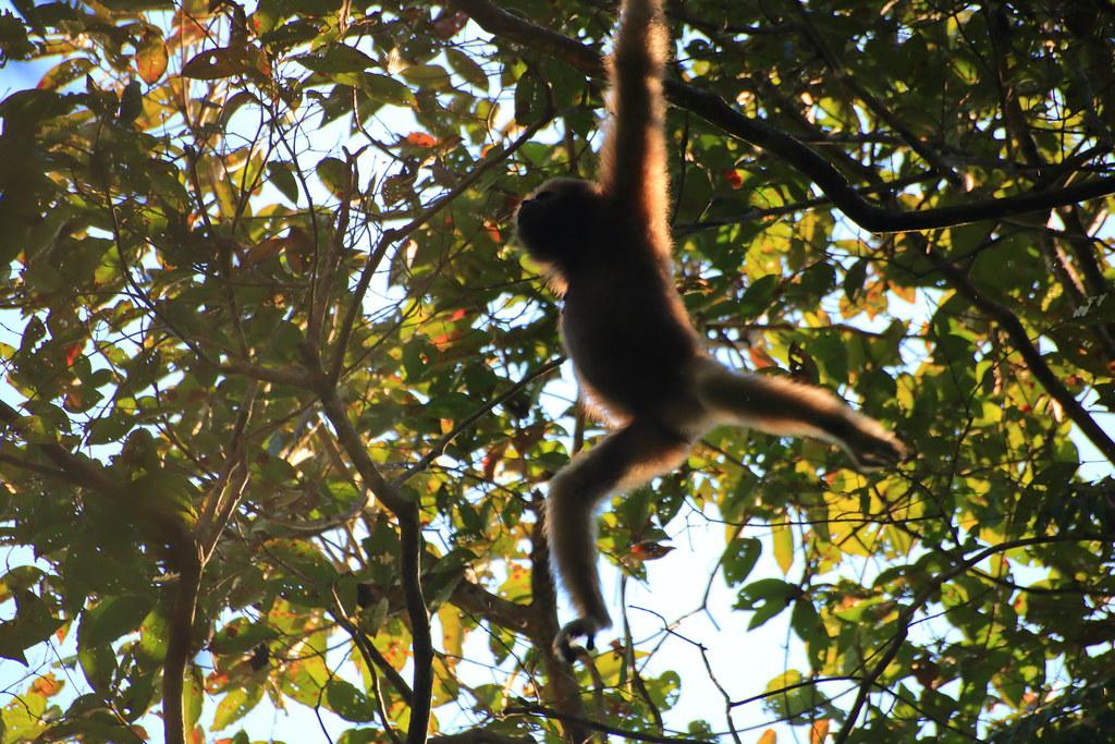 A female Hoolock Gibbon swings