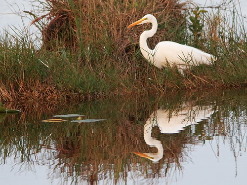 Great Egret at first light 03-20161125