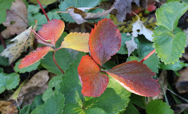 two sets of three red leaves, standing above a lot of green leaves