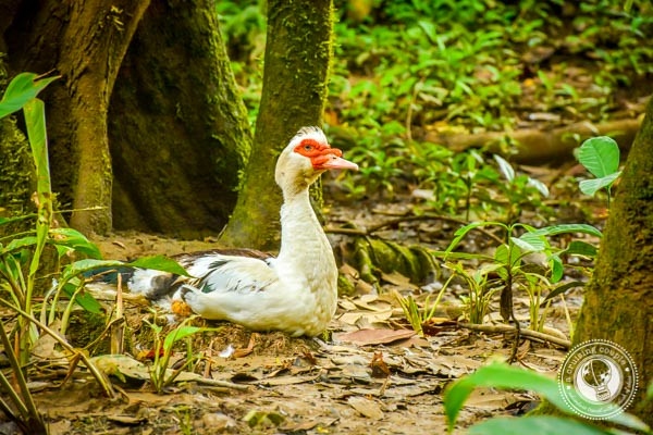 Duck in Sierpe