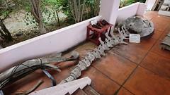 海産センター・クジラの骨