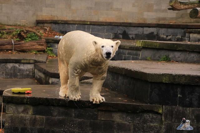 Eisbär Fiete im Zoo Rostock 05.11.2016 019