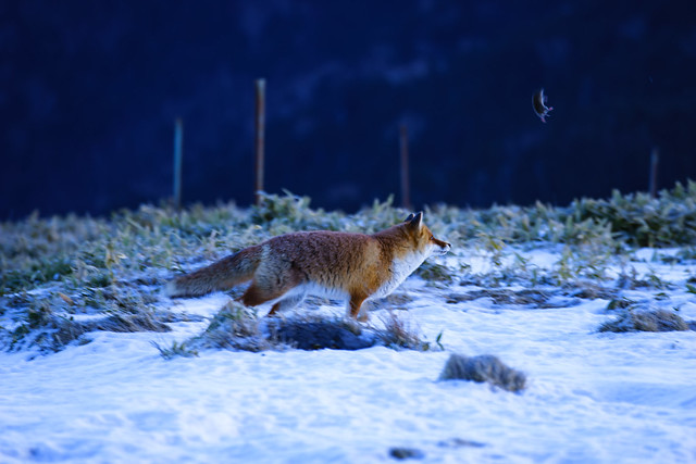 Fox vs mouse