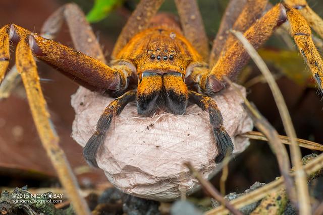 Huntsman spider (Heteropoda sp.) - DSC_7307