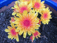 Pink and yellow mums