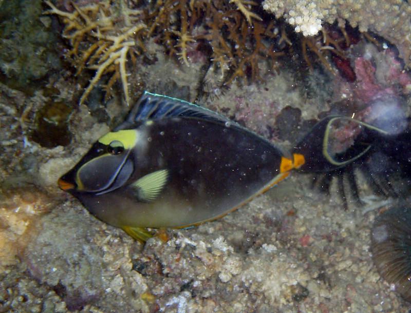 Otra variedad de pez ballesta