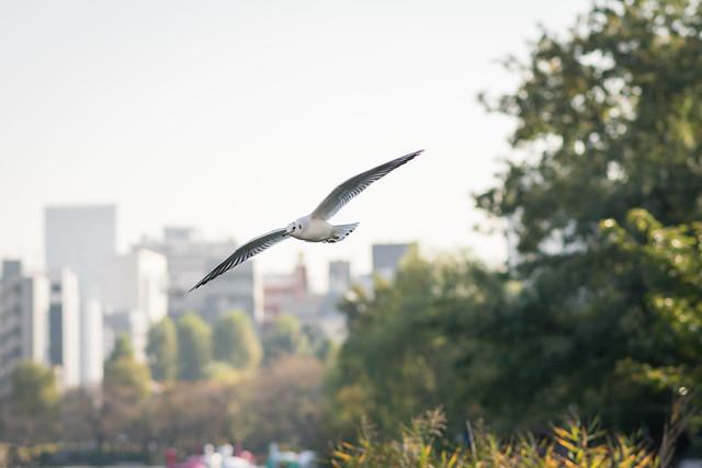 不忍池にて自然とビルを背景に飛ぶユリカモメ