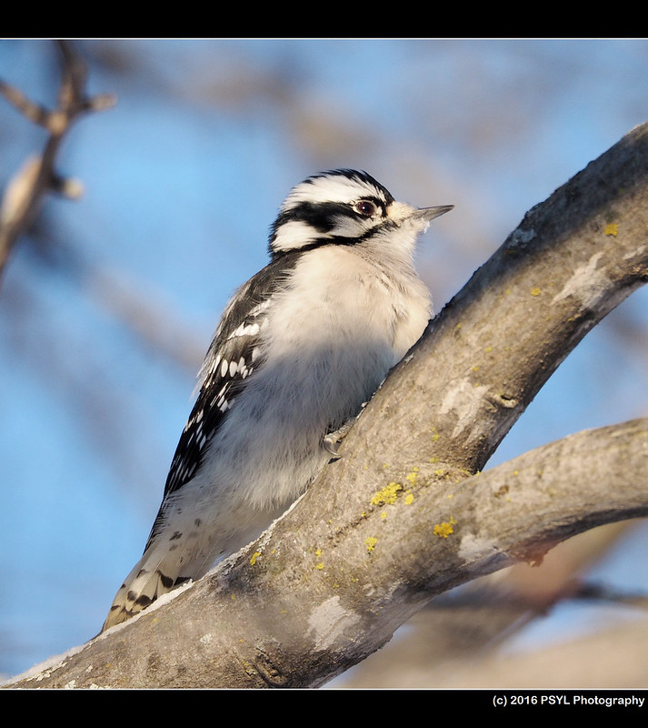 Downy Woodpecker (Dryobates pubescens)