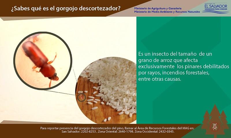 Campaña - Lucha contra el gorgojo descortezador del pino