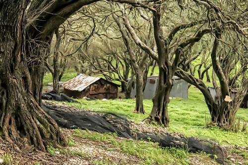 Corfu - Agios Matheos olive grove