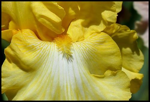 Iris 'Magical Moonlight' - Schreiner 2005 21405248708_e515c9df6f