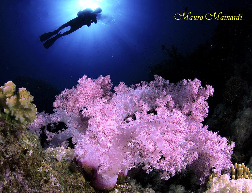 Z7221B - Red sea purple soft rain