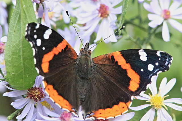 Red Admiral 20160929
