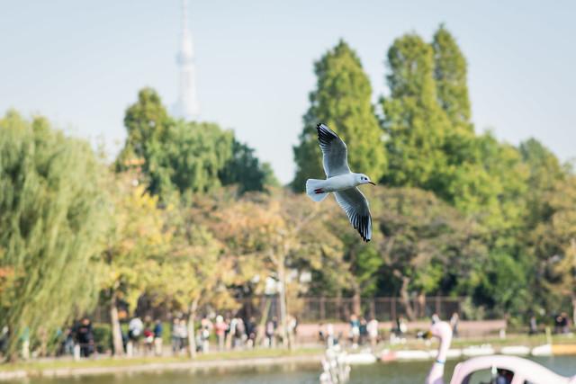 スカイツリーをバックに飛ぶユリカモメ
