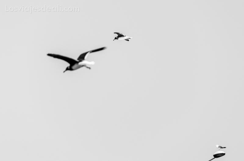 Masirah gaviotas blanco y negro