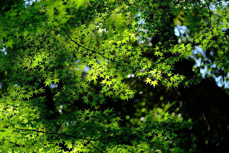 Green maple