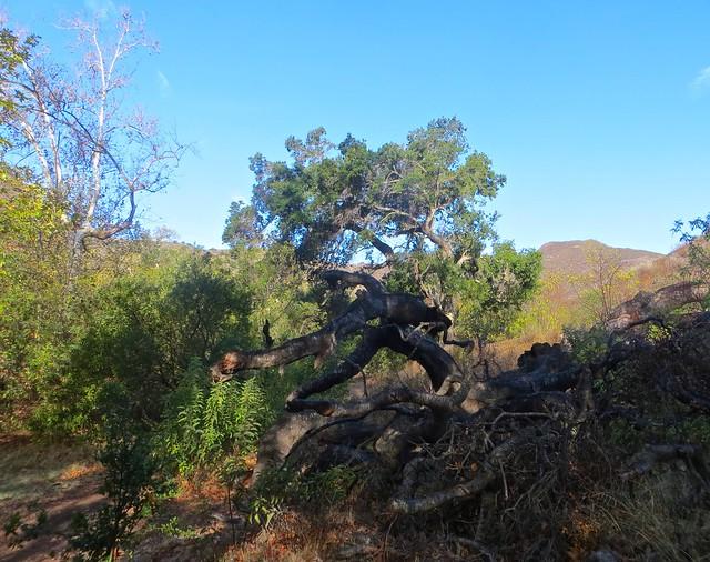 canyon oak malibu