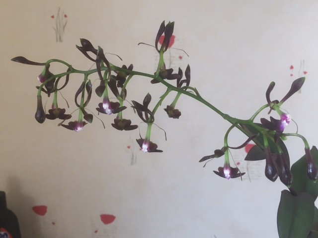 Epidendrum melanoporphyreum 31069796476_102d0f1c1d_z