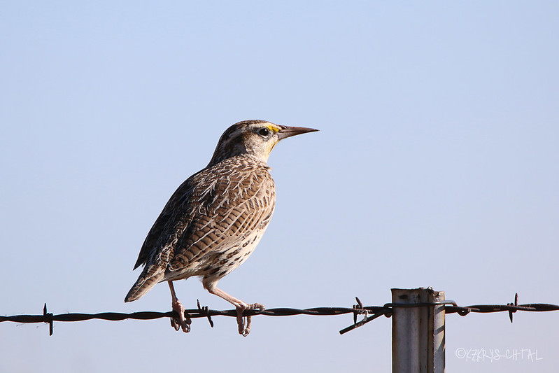 IMG_8064EasternMeadowlark