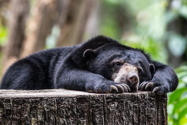 lazy sun bear