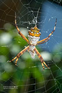 Silver cross spider (Argiope argentata) - DSC_1750