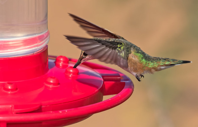 Broad-tailed-Hummer-2-7D2-093016