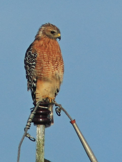 Red-shouldered hawk 2-20150820