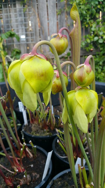 Sarracenia flava in flower, 2016