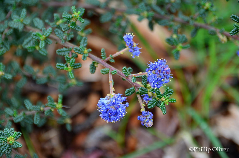 ceonothus-julia-phelps