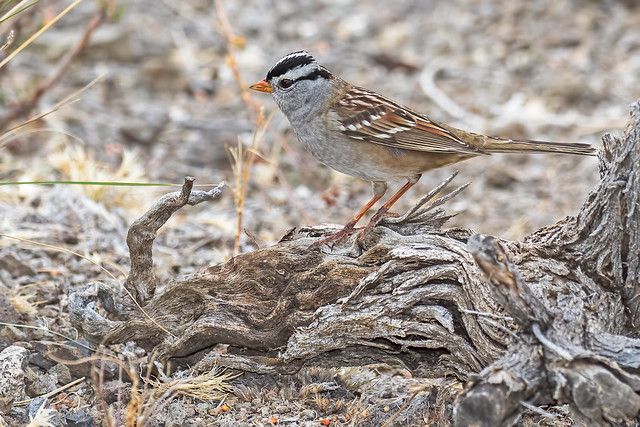 White-throated-Sparrow-27-7D2-102916